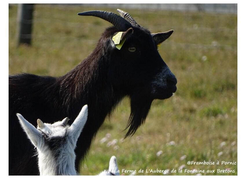 Maman chèvre