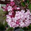 Fleur Viburnum Carlesii.jpg