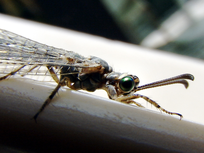 Le fourmilion en larve et adulte (Euroleon nostras) - La Couarde - Ile de Ré - 17  posté lesamedi 13 septembre 2008