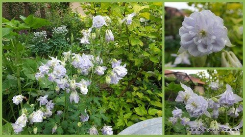 Ancolies en fleurs