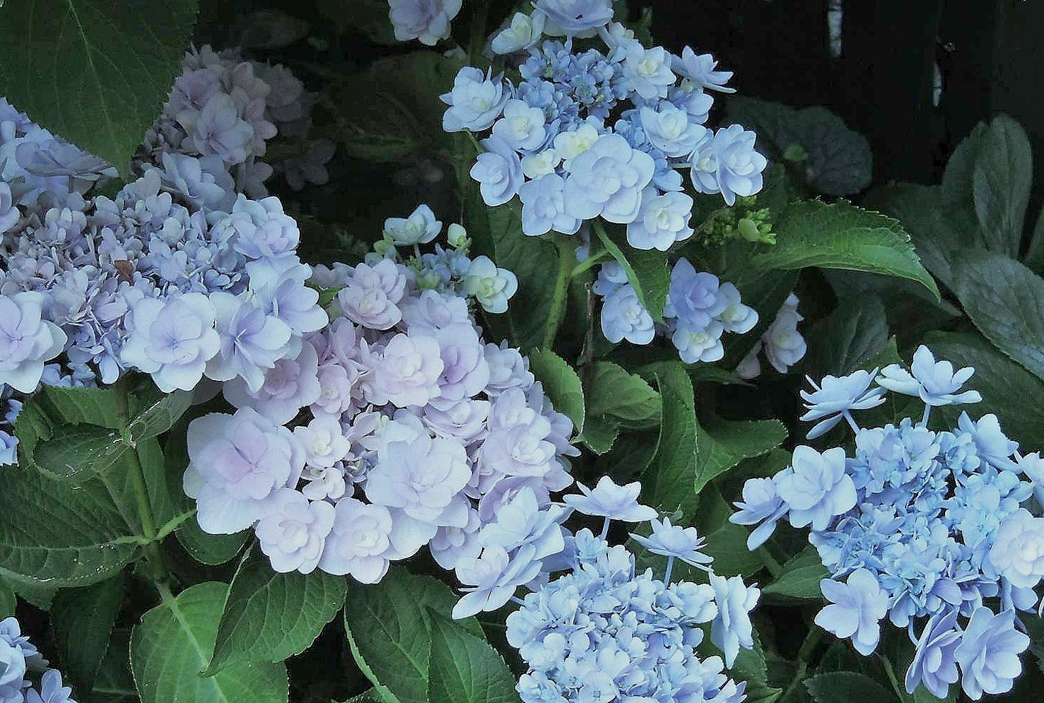 Hydrangea You and me forever