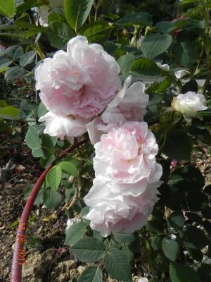 Roses Et Poésie Au Nom De La Rose