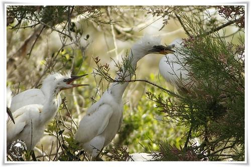 Aigrettes garzettes - Egretta garzetta - Little Egret