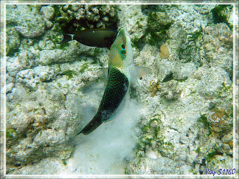 Tamarin vert, Labre bicolore, Blackeye thicklip, Half-and-half thicklip (Hemigymnus melapterus) - Moofushi - Atoll d'Ari - Maldives
