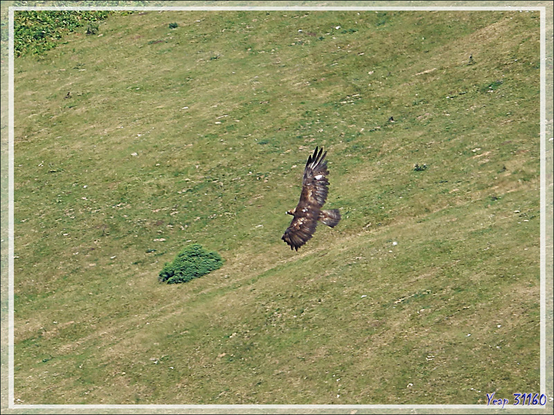 Aigle royal, Golden Eagle (Aquila chrysaetos) vu du  Mail de l'Aigle - Artigue - 31