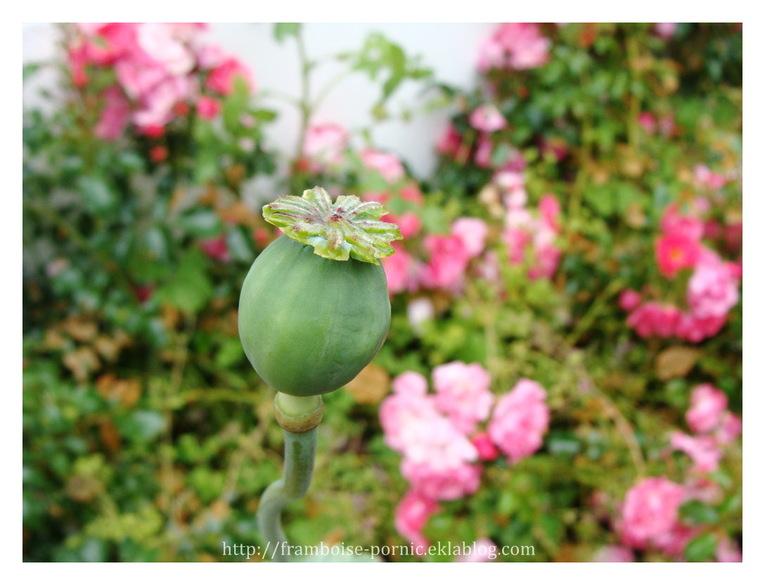 Pavot pivoine du jardin
