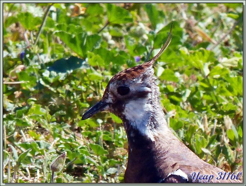 Vanneau huppé et son poussin (Vanellus vanellus) - La Couarde-sur-Mer - Île de Ré - 17
