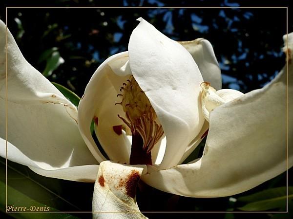 MagnoliaF
