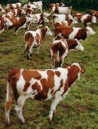 Vaches montbeliardes