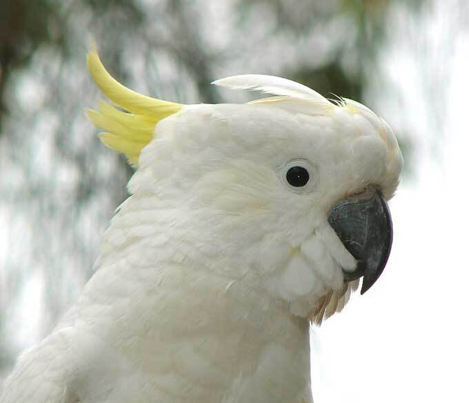 Cacatoès blanc