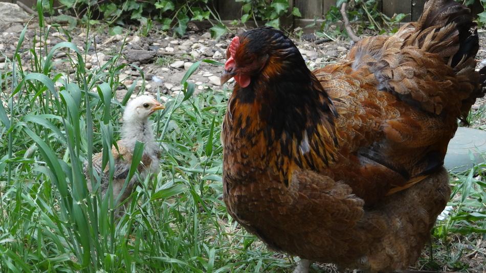 Des Poules Pondeuses dans son Jardin