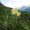 Narcisse bicolore (Narcissus bicolor)