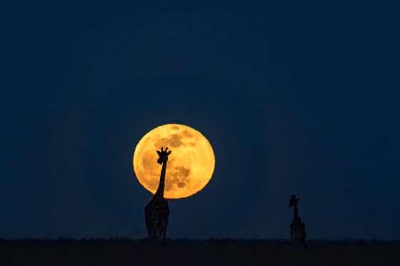 Full moon on the Masai Mara, Kenya - 18 Aug 2016 Two giraffe set against the full moon