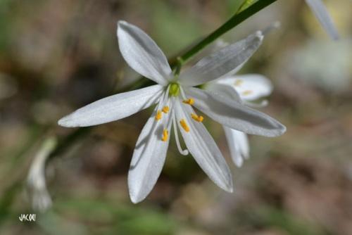 Une fleur de Drôme provençale