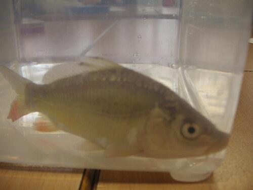 Des poissons en CP