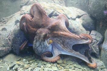 La pieuvre de Papetoia