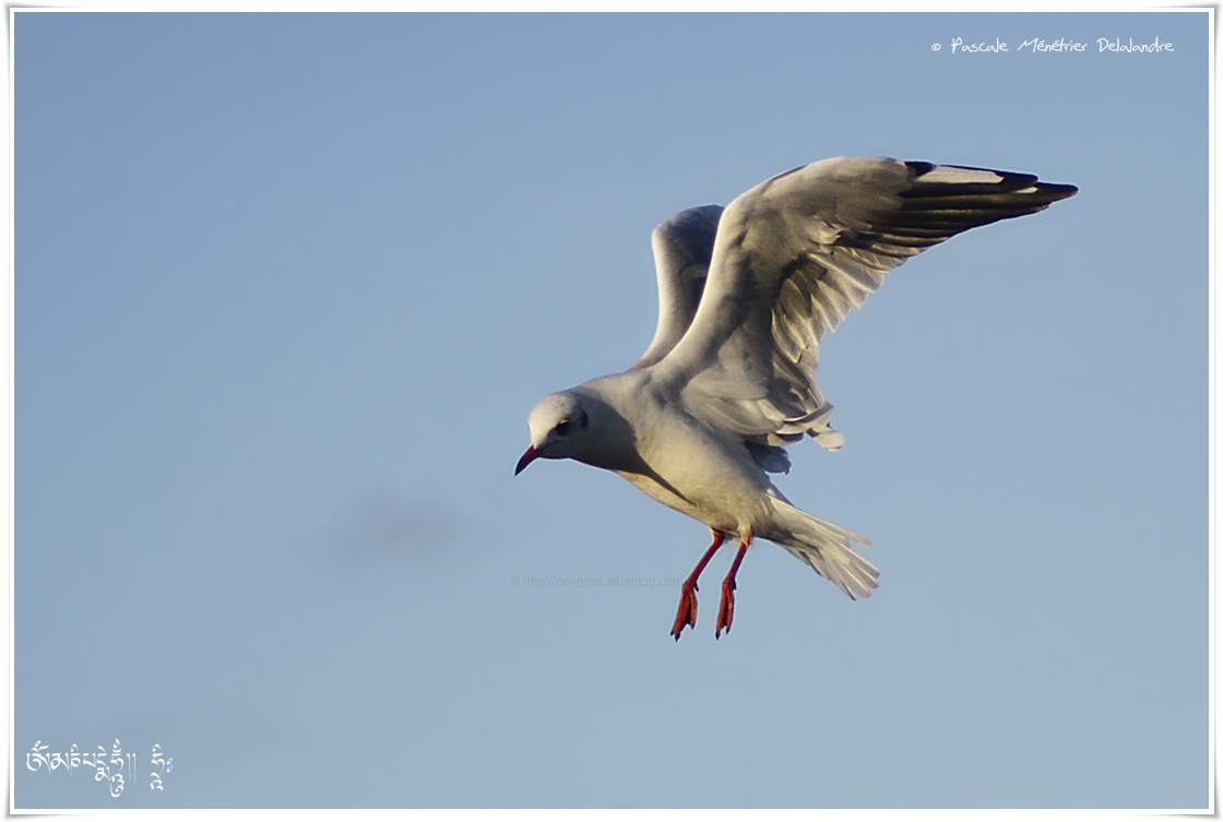 Mouette rieuse - Chroicocephalus ridibundus - Black-headed Gull