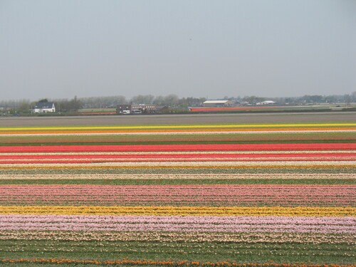 les Champs de Tulipes en Hollande .2011