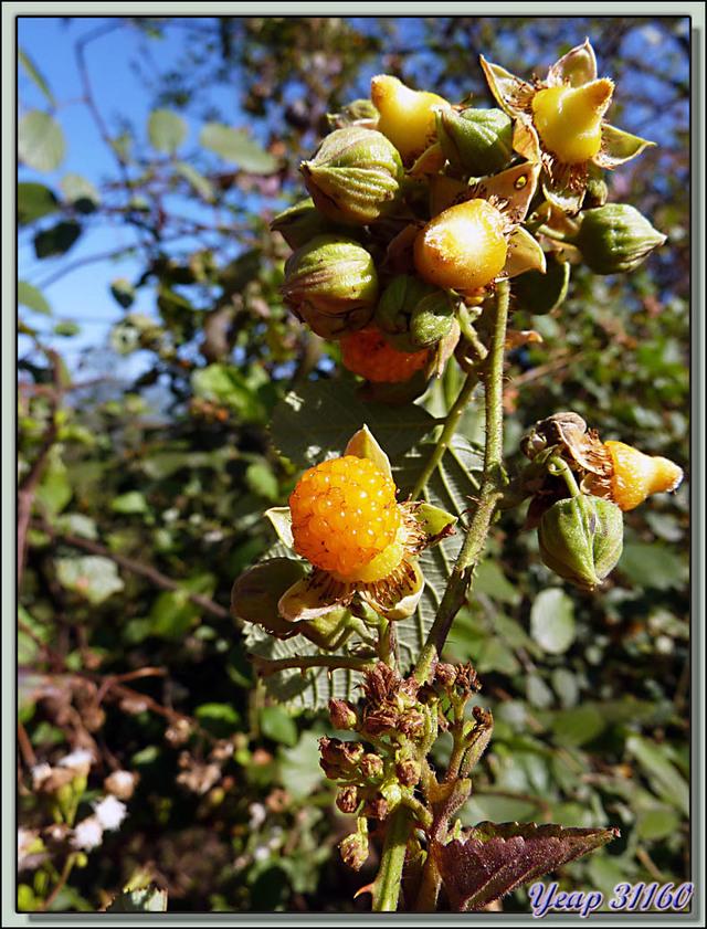 Blog de images-du-pays-des-ours : Images du Pays des Ours (et d'ailleurs ...), Framboises jaunes de l'Himalaya, yellow himalayan raspberry (Rubus ellipticus) - Nagarkot - Népal