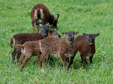 Les moutons de Soay ...