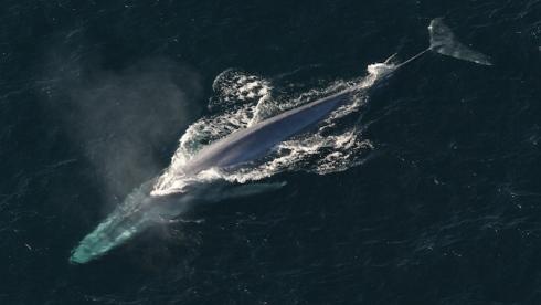Vue d'oiseau d'une baleine bleue qui expire