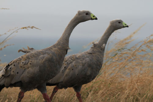 Céréopse cendré 5Cape Barren Goose) Vic Australie