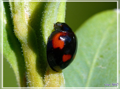 Naissance d'une Coccinelle Chilocorine à virgule (Exochomus quadripustulatus) - Lartigau - Milhas - 31