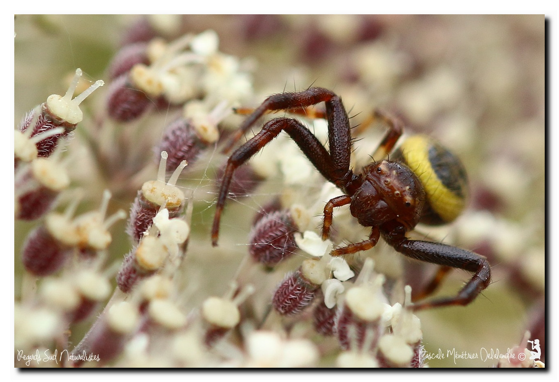 Synema globosum ( Thomise globuleuse, Thomise globuleux, Araignée-crabe ou Araignée Napoléon) - Thomisidae