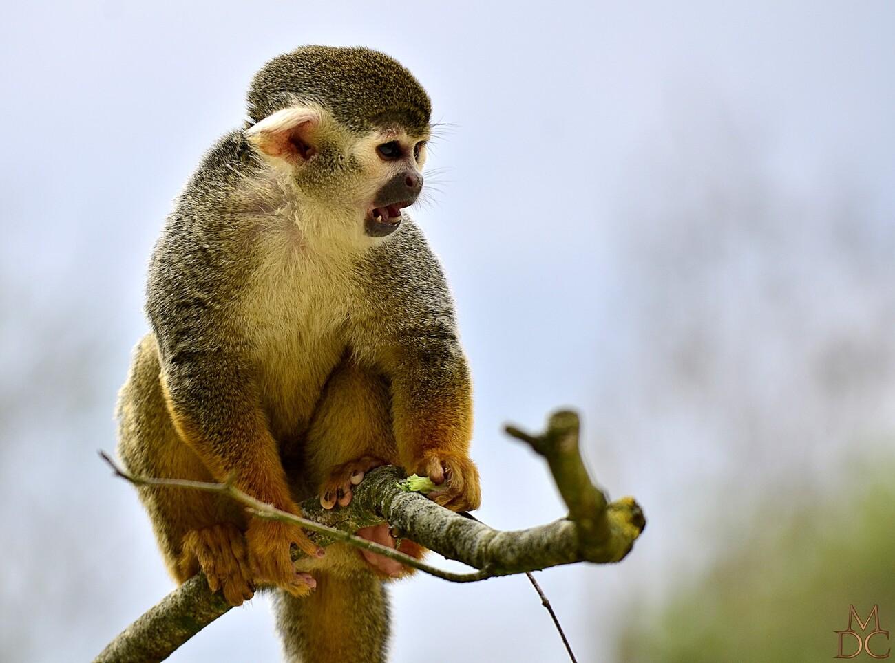 Saïmiri  (Sapajous, Singes-écureuils)