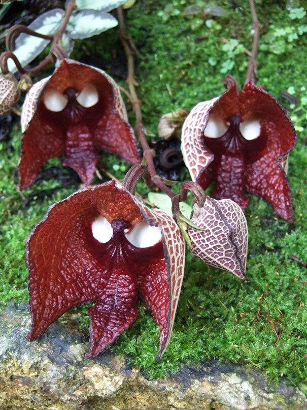 flowers-look-like-animals-people-monkeys-orchids-pareidolia-40