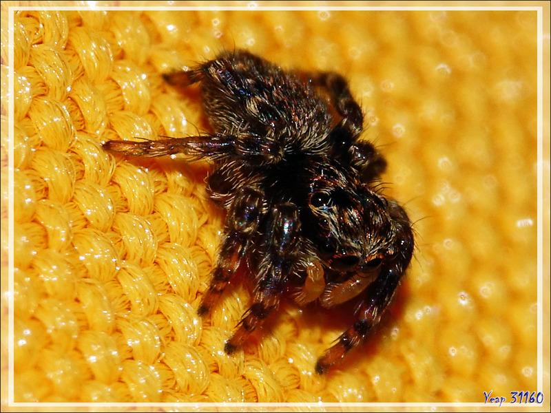 Un monstre de 4 mm : l'araignée sauteuse (saltique) Pseudeuophtys lanigera - Lartigau - Milhas - 31