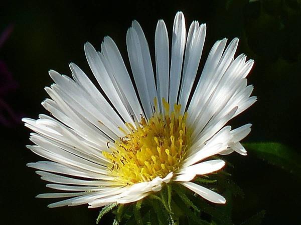 Aster blanc