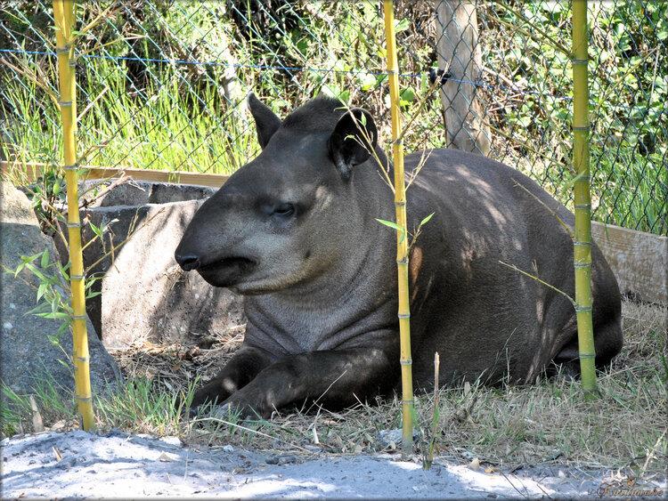 Photo de tapir (Zoo du bassin d'Arcachon)