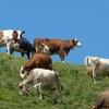 Vaches à cloches