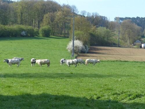Les vaches sont au champs