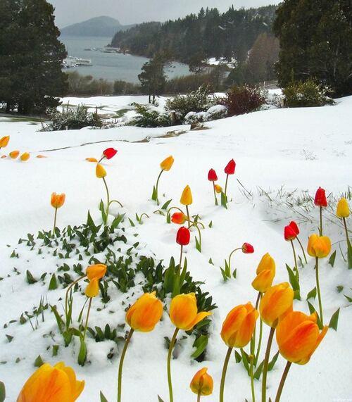 Bonjour....    tulipes dans la neige