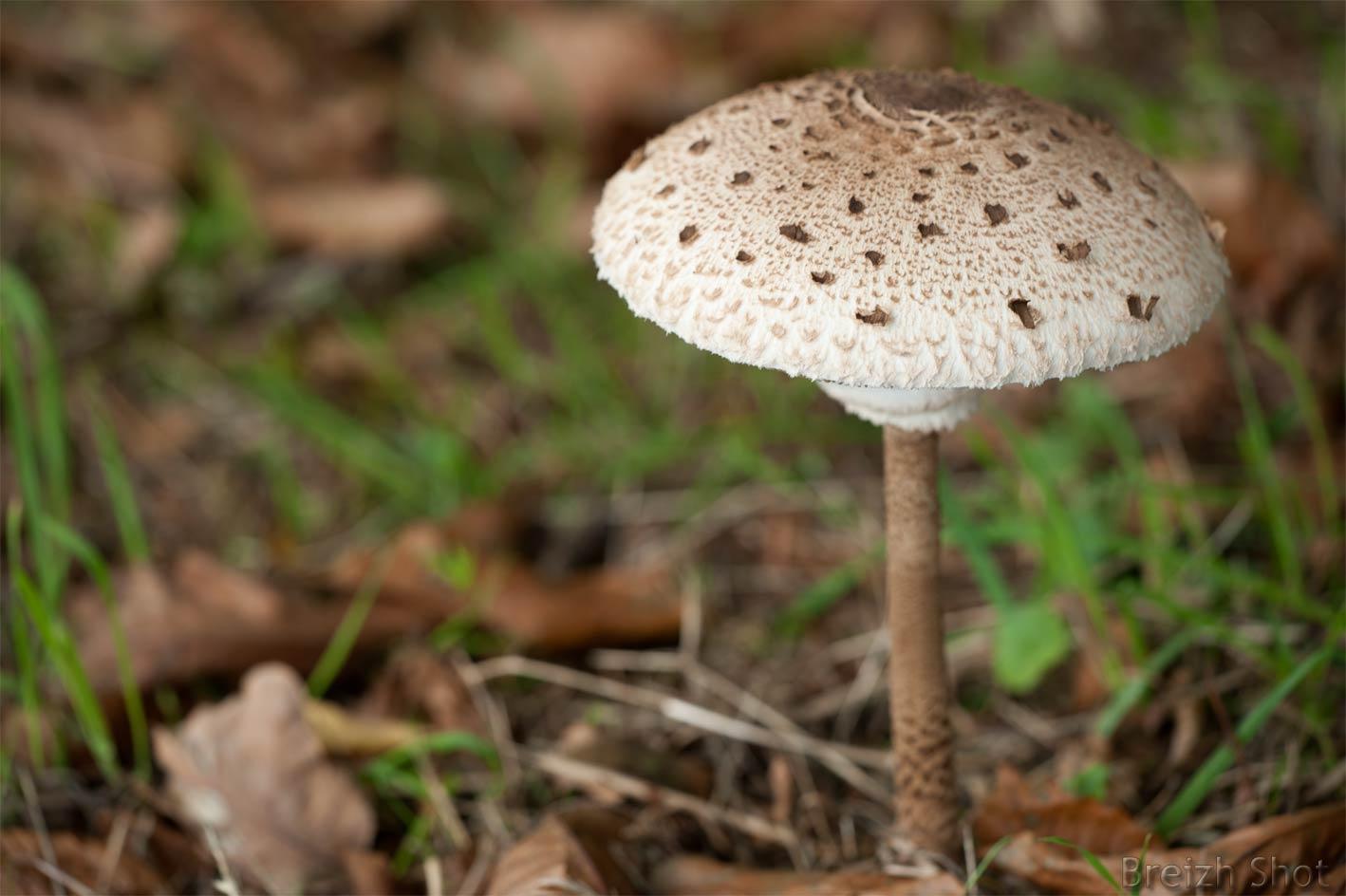 La coulemelle ce beau et d licieux champignon photos 2 breizh - Comment reconnaitre physalis comestible ...