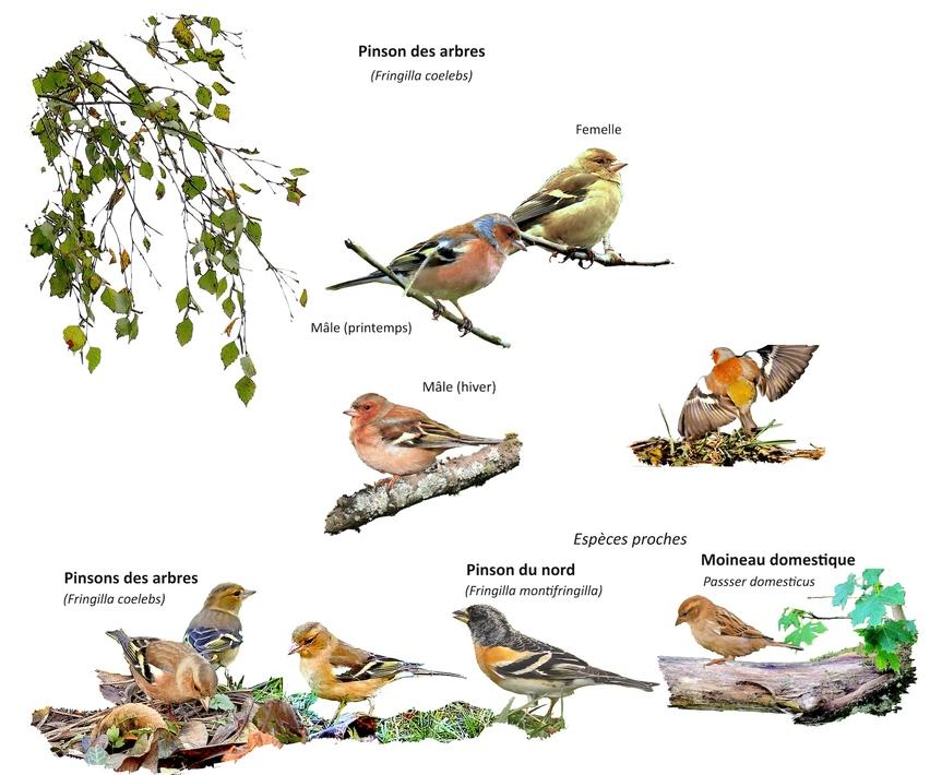 Portrait d'oiseau (18) : le pinson des arbres (fringilla coelebs)
