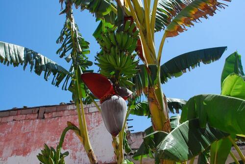 Un beau bananier