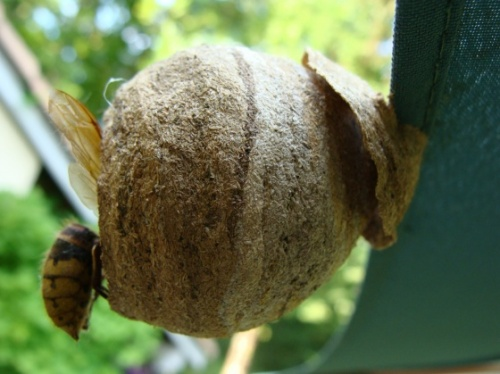 différent nid de frelon asiatique