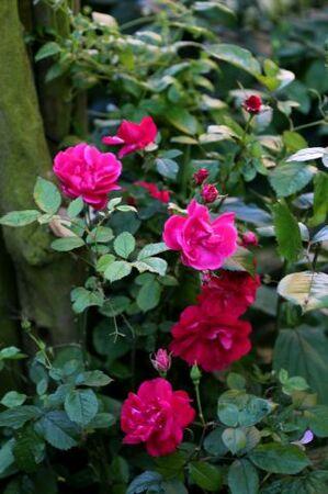 Le rosier de Fanfan ♥