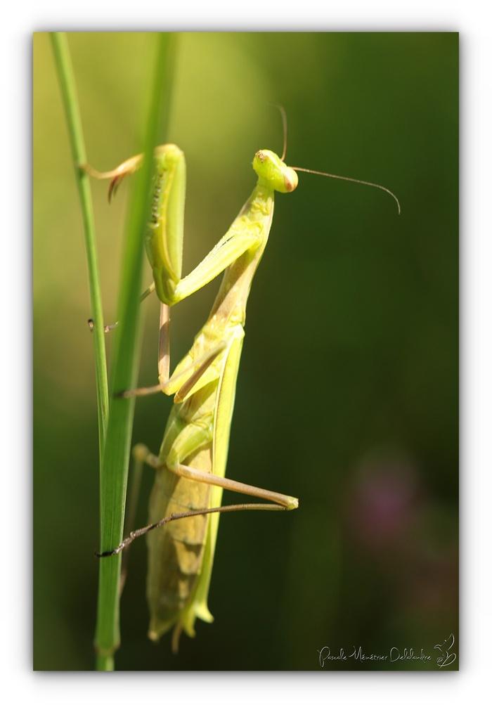 Mante religieuse forme verte - Mantis religiosa
