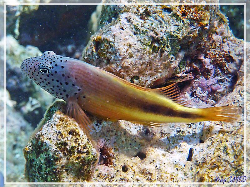 Poisson-faucon de Forster ou à taches de rousseur, Épervier à bande noire ou à tête ponctuée, Forster's hawkfish, Blackside hawkfish (Paracirrhites forsteri) - Moofushi - Atoll d'Ari - Maldives