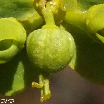 Euphorbia seguieriana  -  euphorbe de Séguier
