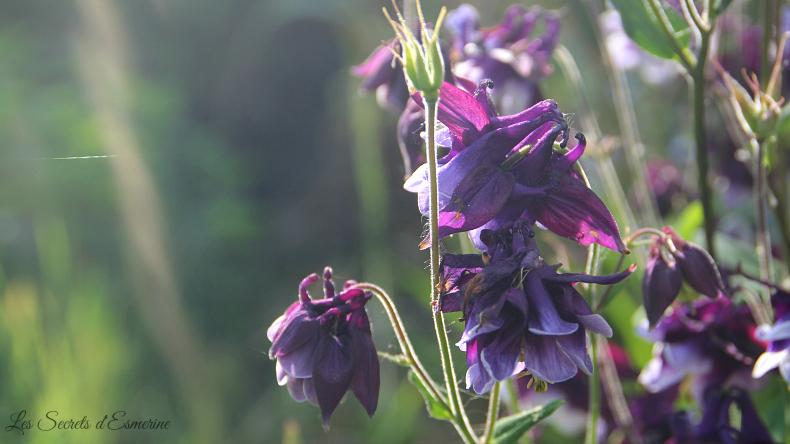 Notes florales [Défi du lundi] - ancolies