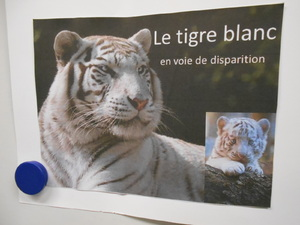 Exposé sur le tigre blanc par Lisa