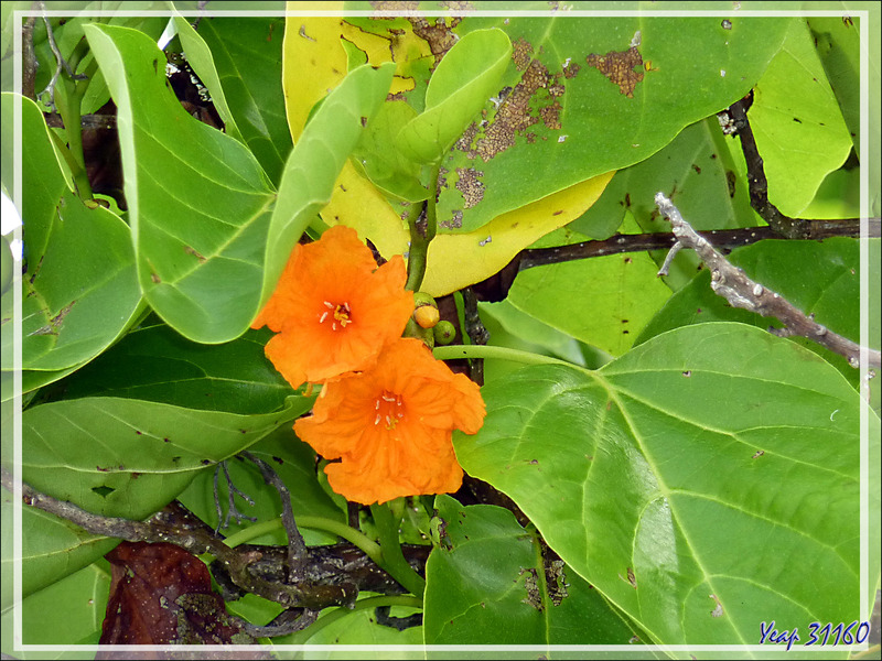 Deux dernières petites fleurs : Noyer d'océanie ou faux-ébène (Cordia subcordata) et Manioc bord de mer (Scaevola taccada) - Moofushi - Atoll d'Ari - Maldives