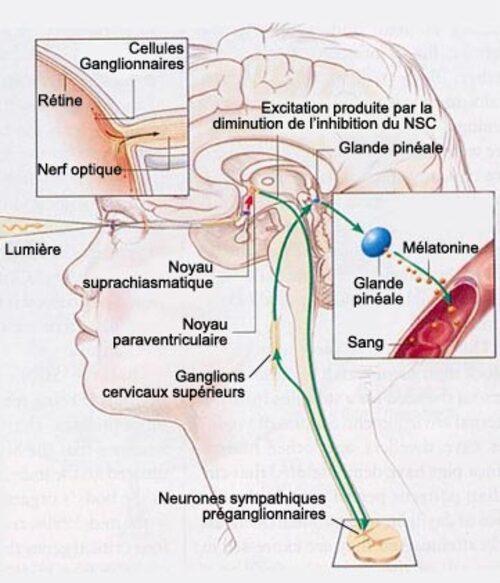 Les diverses phases du sommeil.