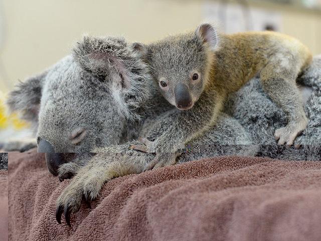 Un petit koala s'agrippe à sa maman pendant une opération chirurgicale