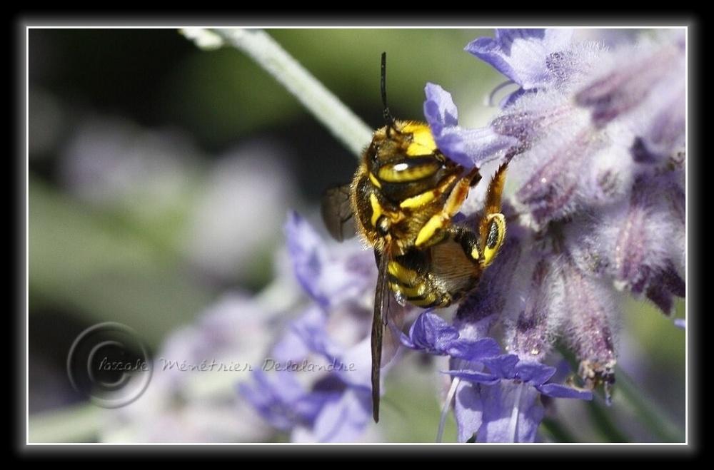 Bestiole non identifiée de la taille d'une abeille...